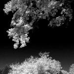 Lochmere Trees
