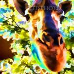 Giraffe-SolarM