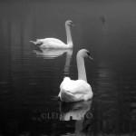 SwanPairBWBuzzM